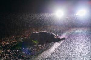 Hirsch im Straßengraben